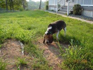 A senior student trainee Buddy the beagle safely behind a DogWatch Hidden Fence